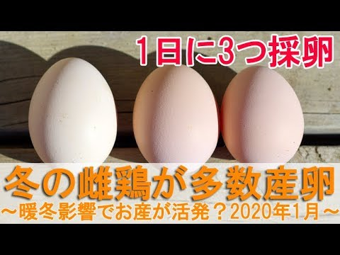, title : '冬の雌鶏が多数産卵~暖冬の影響かニワトリのお産が活発な2020年1月~