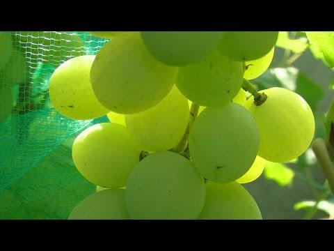 Раздельное опрыскивание кустов винограда.