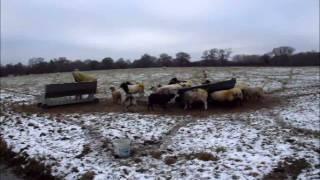 Feeding Hay To Sheep Xmas 2010