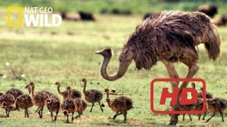 Documentary Birds National Geographic Documentary Wild - THE BIGGEST BIRD ALIVE Its Ostrich - BBC D