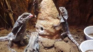 Frilled Dragons RAVAGE Crickets!!