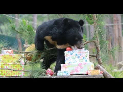 Rescued bears couldn't wait to open their presents 2017