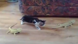 قطة وسحليتين - موقف مضحك جدا هههههههههه