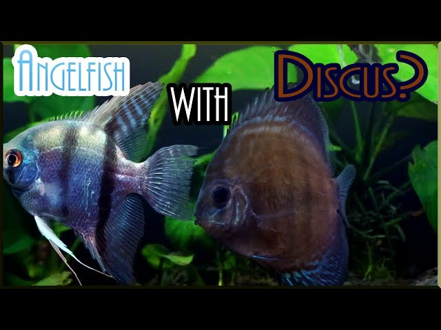 Can you keep DISCUS with ANGELFISH?