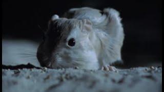 Aggressive Nightlife Of The Kangaroo Rat | Attenborough |  BBC