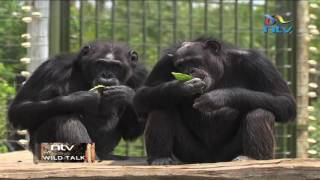 Chimpanzees at the Sweetwaters sanctuary