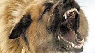 Собаки специального назначения - Живое оружие России. Оружие России