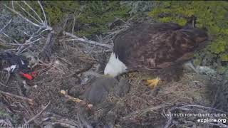 Mom Saves her Chick - Chick Unable to Get Up - Mom Helps Out - Sauces Nest - April 11, 2019