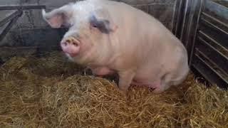 Смешные приколы#2019#свинья#деревня#хряк#лпх#алабай#поросята#стейк#мясо#ржач#ферма#кабан#2019#хозяйс