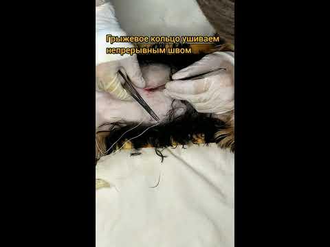 Оперативное лечение пупочной грыжи у собаки.