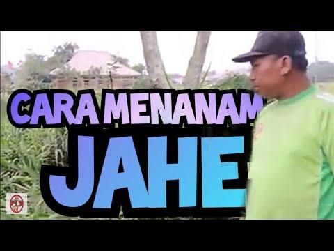 Video Cara Menanam Jahe