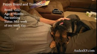 Heidi 4 Month old GSD Short-term Intensive Board and Train