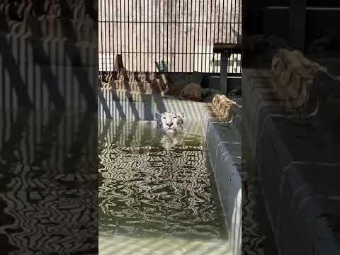 【池田動物園公式】全身で水浴び中のサンちゃん☆