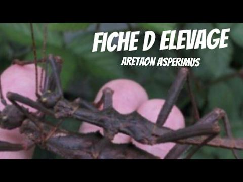, title : 'Fiche d elevage du phasmes aretaon asperimus  ( ou phasmes épineux )