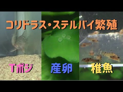 コリドラス・ステルバイの繁殖~ステルバイのTポジション・産卵・孵化・成長~
