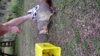 How to get rid of possums.MOV