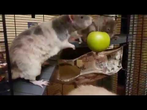 Грозные пожиратели яблок