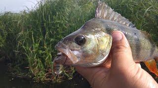 Кивковая рыбалка на окуня