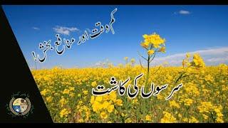 Mustard Cultivation - سرسوں/رائی کی کاشت - Sarson (Rai) ki Kasht