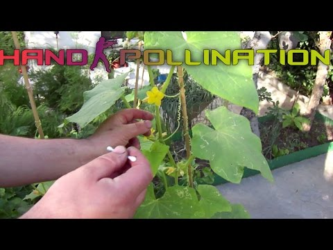 , title : 'Cucumbers hand-pollination: Identifying the male and female flowers