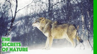 Wildest Arctic - The Secrets of Nature