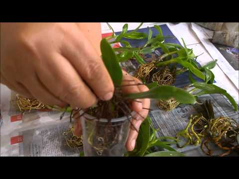 Video Mengganti media tanam dan pot anggrek (Repotting orchids)