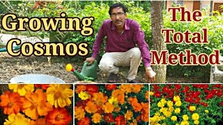 How To Sow And  Grow  Cosmos Flower Plants