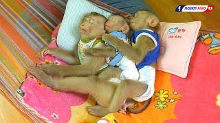 Amazing Baby Monkey KAKO LUNA With Tiny NINA Lovely Sleeping Hug Together On Hammock