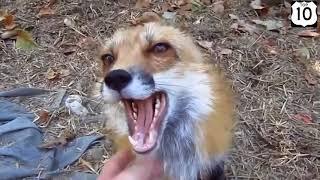 Смешные животные  подборка (Лисы)