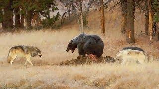 Grizzlys contre loups, ça tourne bien - ZAPPING SAUVAGE