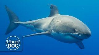 Australia. The Great White Shark | Full Documentary