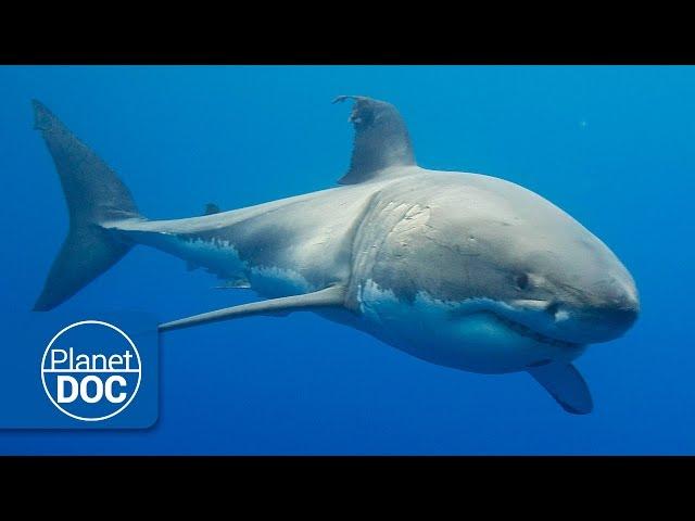 Australia. The Great White Shark   Full Documentary