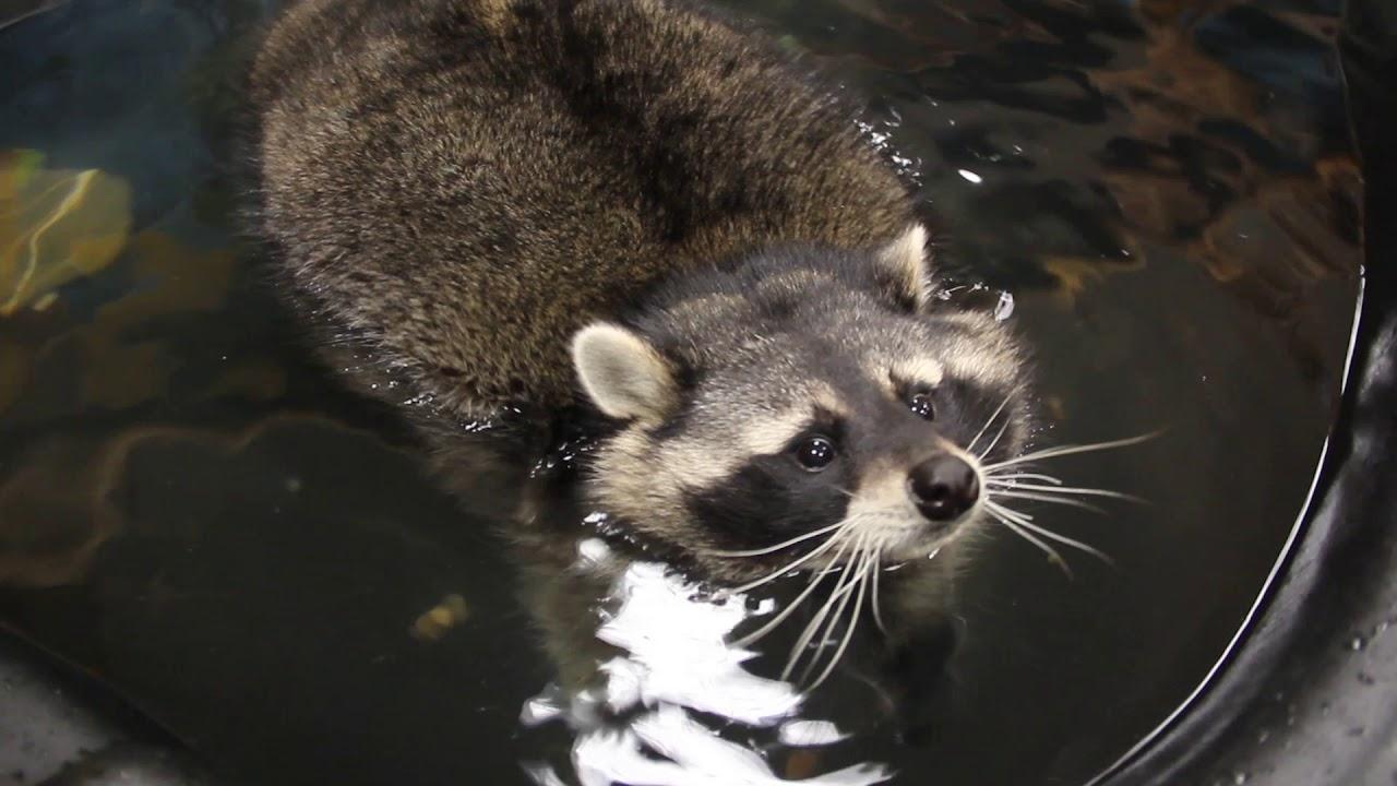 Забавный енот плавает в бассейне