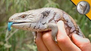 Blue Tongue Skink!