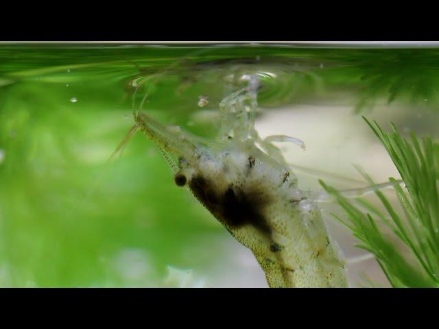 餌を食べるミナミヌマエビ
