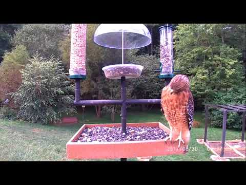 Asheville Bird Cam   Beautiful Red Shouldered Hawk at the Feeder 2017 08 30