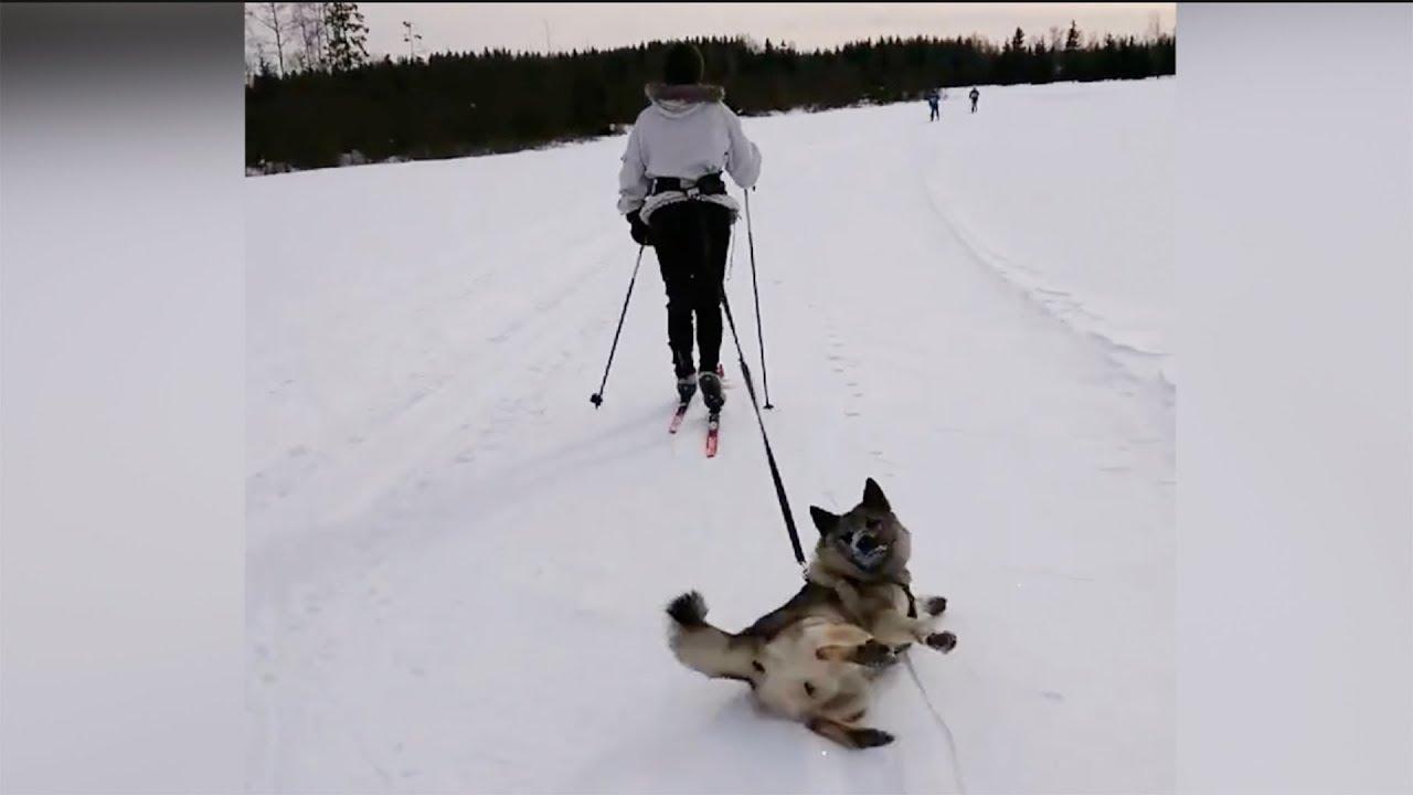 Ленивый хаски из Норвегии стал звездой Сети