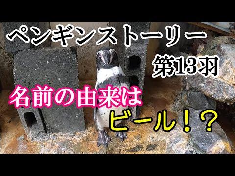 ペンギンストーリー ~第13羽「アサヒ」~【フンボルトペンギン】