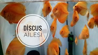 Discus Ailesi