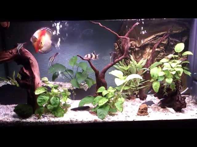 Peces comiendo Larva Roja (HD 1080p) Discos, Escalares.Bettas. Coridoras,Ancistrus, Botias, Neones