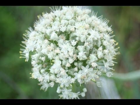 , title : 'How to Save Onion seeds -The Wisconsin Vegetable Gardener Straight to the Point