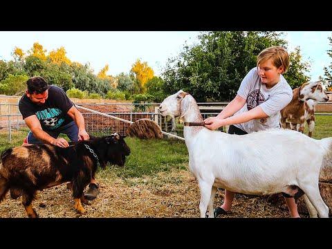 , title : 'Ready...Set...BREED! (crazy goat breeding begins)