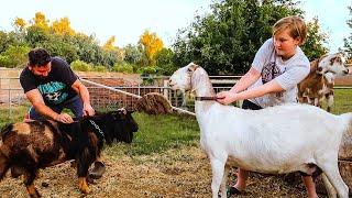 Ready...Set...BREED! (crazy Goat Breeding Begins)