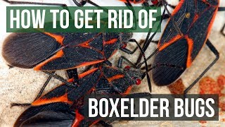 How to Get Rid of Boxelder Bugs (4 Easy Steps)