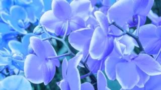 Yanni - Orchid
