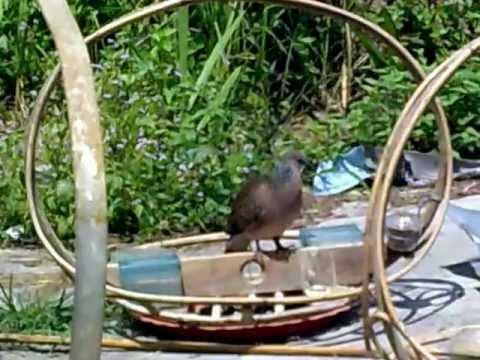 Video Tekukur - Burung Baru Dalam Latihan