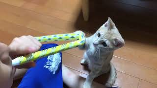 おもちゃが壊れても楽しそうに遊ぶ息子とねこに癒される  A kitten Playing with son