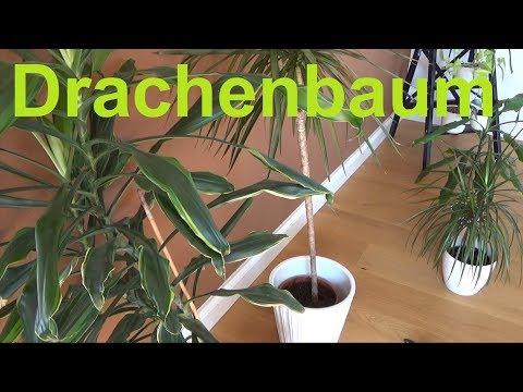Drachenbaum Dracaena pflegen Standort Gießen Düngen vermehren Tipps