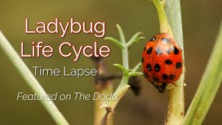 Time Lapse of Ladybug Life Cycle