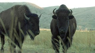 Bison - Farm To Fork Wyoming